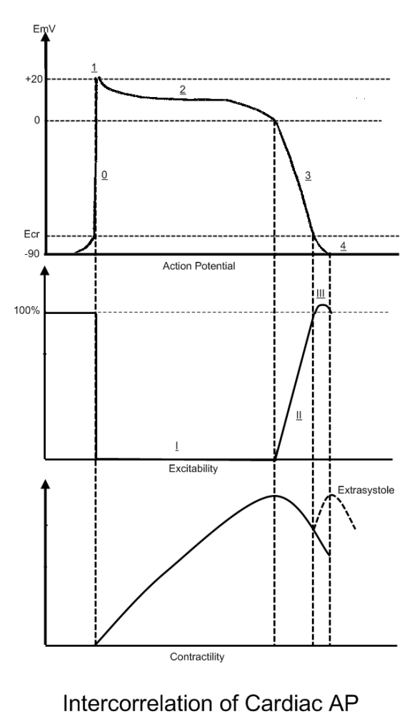 Cardiac Correlation between Action Potential, Excitability and Contractility